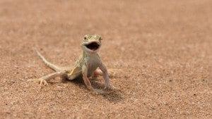 namib desert lizard