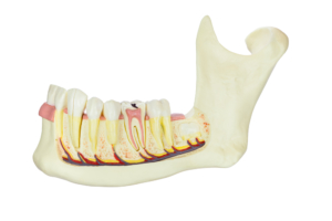jawbone with teeth and nerves on white background